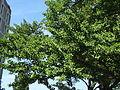 Spomenik prirode Ginko na Vračaru 12.JPG