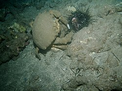 Sponge crab eating a sea urchin.jpg