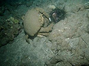 Dromiacea - Dromia dormia (Dromioidea: Dromiidae) feeding on a sea urchin