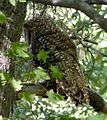 Spotted Owl. Strix occidentalis (1) - Flickr - gailhampshire.jpg