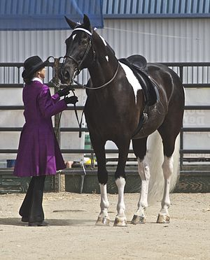 Spotted Saddle Horse - A black tobiano Spotted Saddle Horse.