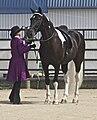 Spotted Saddle Horse6.jpg