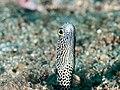 Spotted garden eel (Heteroconger hassi) (28487993518).jpg