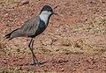 Spur-winged Plover ...Gambia (33172526945).jpg