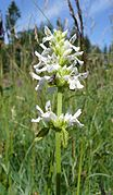 Stachys officinalis 240607.jpg