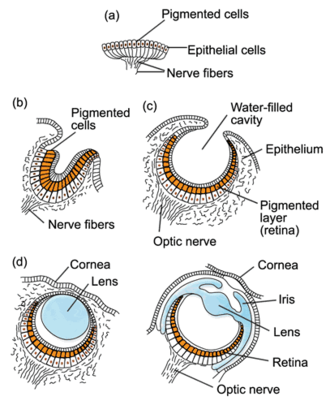 Irreducible complexity - Stages in the evolution of the eye (a) A pigment spot (b) A simple pigment cup (c) The simple optic cup found in abalone (d) The complex lensed eye of the marine snail and the octopus