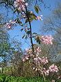 Staphylea holocarpa rosea (17065659500).jpg
