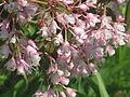 Staphylea holocarpa rosea (17253223055).jpg