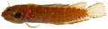 Starksia cf lepicoelia - pone.0010676.g152.png