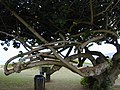 Starr-010309-0530-Hibiscus tiliaceus-twisted branches-Mai poina oe lau Beach Kihei-Maui (24236469060).jpg