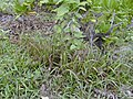 Starr-010520-0015-Cenchrus echinatus-habit-Near beach-Kure Atoll (23905892593).jpg