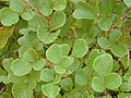 Starr-011205-0072-Rubus ellipticus-leaves-Hwy11 Mountain view-Hawaii (24461542351).jpg