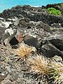 Starr-050419-6518-Panicum fauriei var carteri-habit-Mokolii-Oahu (24450686690).jpg