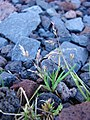 Starr-090504-7229-Poa annua-habit-Science City-Maui (24586542839).jpg