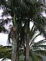 Starr-090505-7395-Roystonea regia-crowns-YMCA Keanae-Maui (24836496852).jpg