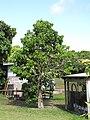 Starr-090610-0442-Syzygium malaccense-white flowered tree-Haiku-Maui (24332917714).jpg