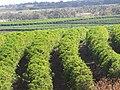 Starr-090714-2670-Coffea arabica-crop-Kaanapali-Maui (24342688613).jpg
