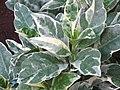 Starr-090730-3428-Graptophyllum pictum-leaves-Honolulu Airport-Oahu (24343881613).jpg