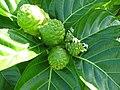 Starr-091104-0771-Morinda citrifolia-flowers fruit and leaves-Kahanu Gardens NTBG Kaeleku Hana-Maui (24692059660).jpg