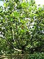 Starr-091104-0773-Artocarpus altilis-habit-Kahanu Gardens NTBG Kaeleku Hana-Maui (24360710593).jpg