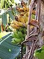 Starr-091112-9538-Musa x paradisiaca-Iholena fruit-West Maui-Maui (24358531974).jpg