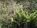 Starr-100603-6866-Erigeron karvinskianus-flowers-Polipoli-Maui (25013488096).jpg