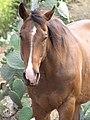 Starr-100629-7819-Opuntia ficus indica-habit and horse-Kula-Maui (24674778309).jpg