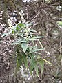 Starr-110331-4533-Buddleja salviifolia-flowers and leaves-Shibuya Farm Kula-Maui (24988550921).jpg