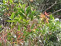 Starr-110629-6448-Syzygium jambos-leaves not much rust now-Ulupalakua-Maui (25071282556).jpg