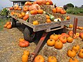 Starr-111004-0567-Cucurbita pepo-habit and pumpkin display-Kula Country Farms-Maui (25092024576).jpg