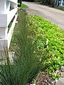 Starr-120330-9243-Juncus sp-planting-Makawao-Maui (24507617274).jpg