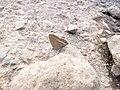 Starr-121031-0571-Ulex europaeus-habitat with bean butterfly Lampides boeticus mudding-Waikamoi Flume Rd-Maui (25077064622).jpg
