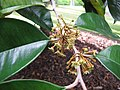 Starr-121108-0828-Chrysophyllum cainito-flowers-Pali o Waipio-Maui (25103164401).jpg