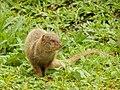 Starr-140222-0347-Paspalum conjugatum-habitat with panhandling mongoose-Puaa Kaa Hana Hwy-Maui (24609898614).jpg