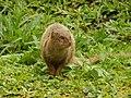 Starr-140222-0351-Paspalum conjugatum-habitat with panhandling mongoose-Puaa Kaa Hana Hwy-Maui (24872885659).jpg