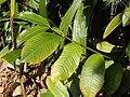 Starr-140518-0546-Garcinia mangostana-leaves-Hamana Pl Haiku-Maui (25242655545).jpg