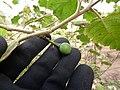 Starr-150325-0577-Solanum torvum-immature fruit-Community Garden Sand Island-Midway Atoll (25266057015).jpg