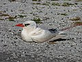 Starr-150401-0444-Conyza canadensis var pusilla-Red Tailed Tropicbird-West Beach Sand Island-Midway Atoll (25154645432).jpg