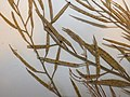 Starr-160706-0025-Brassica juncea-voucher 150328 01-Northwest side Eastern Island-Midway Atoll (29667802445).jpg