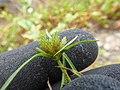 Starr-180421-0186-Cyperus polystachyos-var miser seedhead-Honolua Lipoa Point-Maui (29588023738).jpg