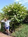 Starr 020617-0022 Alpinia zerumbet.jpg