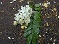 Starr 020628-0021 Cassia x nealiae.jpg