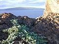 Starr 021108-0020 Jacquemontia ovalifolia subsp. sandwicensis.jpg