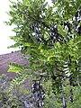 Starr 040813-0012 Sophora chrysophylla.jpg