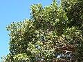 Starr 050516-1220 Ficus religiosa.jpg