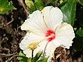 Starr 070207-4308 Hibiscus rosa-sinensis.jpg