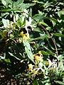 Starr 071024-9950 Lonicera japonica.jpg