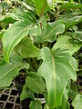 Starr 080117-1609 Philodendron sp..jpg