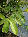 Starr 080531-4998 Schefflera actinophylla.jpg