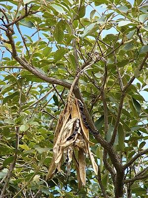 Handroanthus serratifolius - Splitting seedpods